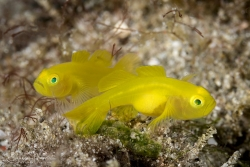 Yellow Goby pair