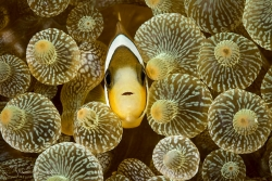 Anemonefish in Bulb-tipped Anemone