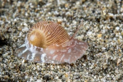 Lined Moon Snail