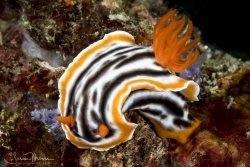 Magnificient Chromodoris