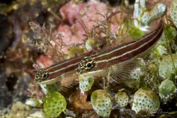 Striped Triplefin pair