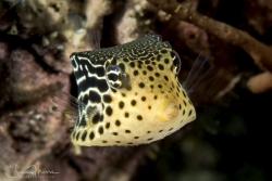Female Solor Boxfish