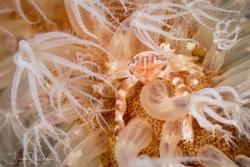Porcelain Crab on Sea Pen