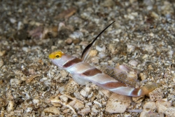 Black-rayed Shrimpgoby