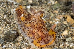 Plocamopherus Nudibranch