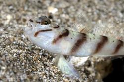 Slantbar Shrimpgoby yawning