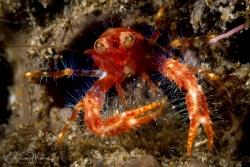 Bug-eyed Squat Lobster