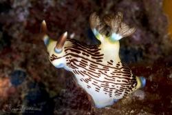 Lined Nembrotha Nudibranch