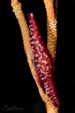Rosy Spindle Cowrie