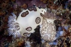 Funeral Jorunna Nudibranchs mating