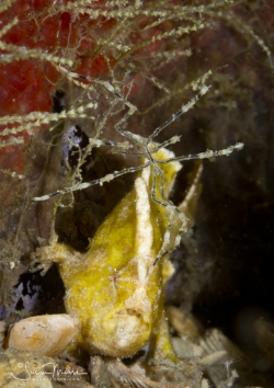 Dwarf Frogfish and sea spider.  Lake Worth Lagoon, Florida.  © Susan Mears, All Rights Reserved.