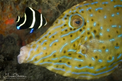 Scrawled Filefish being cleaned by a juvenile Gray Angelfish