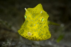 Juvenile Cowfish.   Lake Worth Lagoon, Florida.  © Susan Mears, All Rights Reserved.
