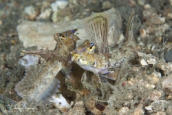 Two male Dragonets fighting over a female.