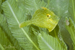 Juvenile Plainhead Filefish