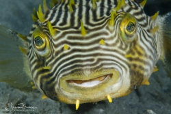 I love these Striped Burrfish.  If you can get a face shot they always look happy.