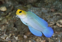 Yellow-headed Jawfish