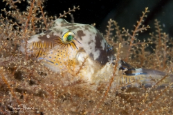 Sleeping Sharpnose Puffer