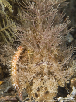 FIREWORM ON STRIATED FROGFISH FACE