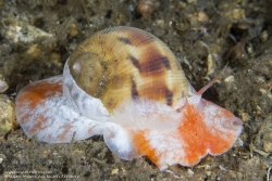 FLORIDA MOON SNAIL