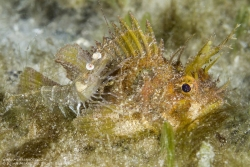 SCORPIONFISH AND SHRIMP