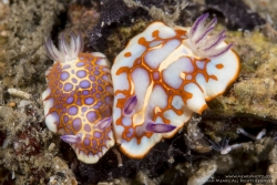 CHROMODORIS CLENCHI & CHROMODORIS BINZA NUDIBRANCH