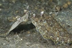 Dueling Eyed Flounder