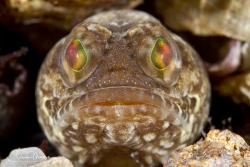 Female Dusky Jawfish