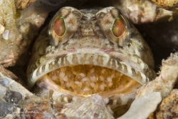 Male Dusky Jawfish incubating eggs (Day 1)