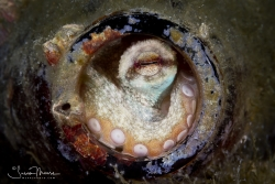 Small octopus using a beer bottle as a home.  Lake Worth Lagoon, Florida.  © Susan Mears, All Rights Reserved.
