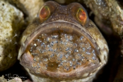 Dusky Jawfish with mouthful of eggs (photo taken on Sunday, two days later)