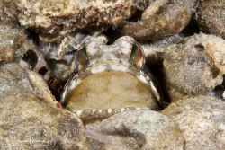 Banded Jawfish with new eggs.