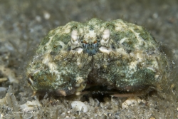 Rough Box Crab with unusual green coloration