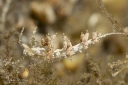 """""""Nanuca sebastini"""" nudibranch"""