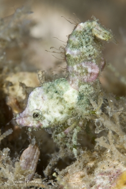 Trachycaris rugosa Shrimp