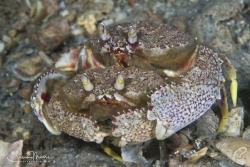 Mating Rough Box Crabs