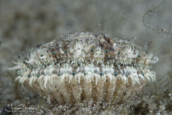 Tiny scallop with rows of turquoise eyes.