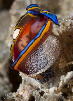 Head Shield Slug (Chelidonura hirundinina), laying egg mass.