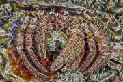 Bareye Hermit Crab