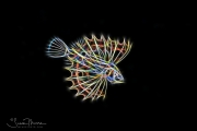 Lionfish Larva - Blackwater