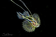 Soapfish Larva - Blackwater