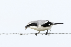 """WALKING THE WIRE"", LOGGERHEAD SHRIKE with a wasp"