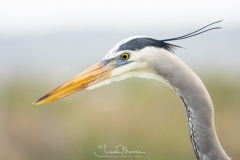 """CONCENTRATION"", GREAT BLUE HERON"