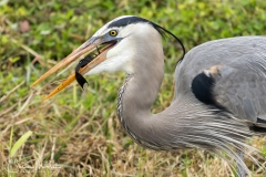 GREAT BLUE HERON with plecostomus