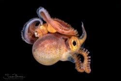Female Blanket Octopus