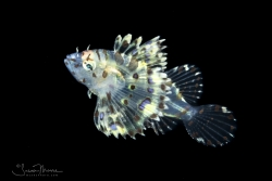 Lionfish Larva