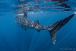 WhaleSharks-11