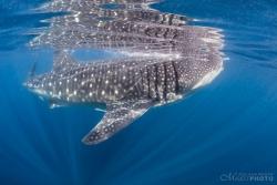 WhaleSharks-2