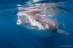 WhaleSharks-6