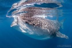 WhaleSharks-7